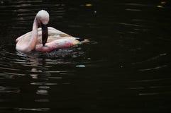 Pássaro do flamingo na natureza Fotos de Stock Royalty Free
