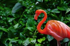 Pássaro do flamingo na natureza Foto de Stock Royalty Free
