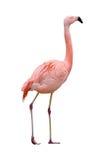 Pássaro do flamingo que anda para a direita no branco Fotografia de Stock