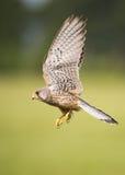 Pássaro do francelho em voo imagem de stock royalty free