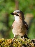 Pássaro do gaio (glandarius do Garrulus) Imagem de Stock