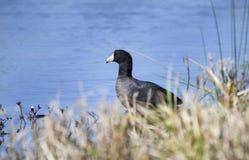 Pássaro do galeirão americano na lagoa de água azul, Geórgia EUA imagens de stock royalty free