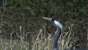 Pássaro do guindaste na benevolência vídeos de arquivo