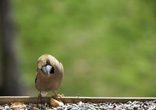 Pássaro do Hawfinch Fotografia de Stock Royalty Free