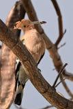 Pássaro do Hoopoe com situação do inseto Imagem de Stock
