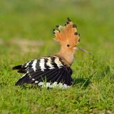 Pássaro do Hoopoe (epops do upupa) imagem de stock royalty free