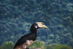 Pássaro do Hornbill Fotografia de Stock