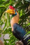 Pássaro do hornbill de Celebes com chifre vermelho e cor alaranjada amarela do bico Imagens de Stock Royalty Free