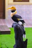 Pássaro do Hornbill no topo Imagens de Stock Royalty Free