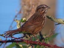 Pássaro do inverno Fotografia de Stock