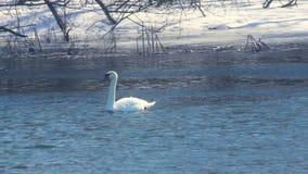 Pássaro do inverno Cisne branca na água fria Natação da cisne e do pato no rio do inverno video estoque