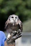 Pássaro do lacteus do bubão da coruja de águia de rapina leitoso que está no falcoeiro Fotos de Stock