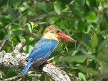 Pássaro do martinho pescatore Fotos de Stock Royalty Free