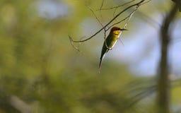 Pássaro do martinho pescatore do Alcedo que descansa em um ramo de árvore fotos de stock