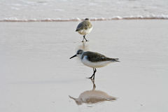 Pássaro do martinho pescatore na praia Fotografia de Stock