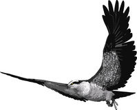 Pássaro do Osprey Fotos de Stock