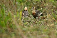 Pássaro do pantanal no habitat da natureza Imagens de Stock