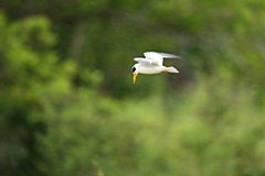 Pássaro do pantanal no habitat da natureza Foto de Stock Royalty Free