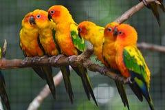 Pássaro do papagaio de Sun Conure Fotografia de Stock