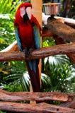 Pássaro do papagaio (psittacine) Foto de Stock Royalty Free