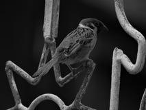Pássaro do pardal Fotografia de Stock Royalty Free