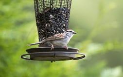 Pássaro do pardal lascando-se, Atenas Geórgia EUA foto de stock