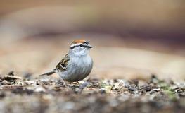 Pássaro do pardal lascando-se que come sementes, Atenas GA, EUA foto de stock royalty free
