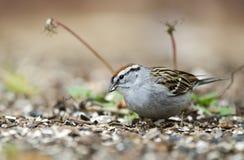 Pássaro do pardal lascando-se que come sementes na grama, Atenas GA, EUA imagem de stock royalty free