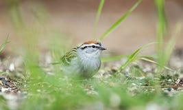 Pássaro do pardal lascando-se que come sementes na grama, Atenas GA, EUA foto de stock