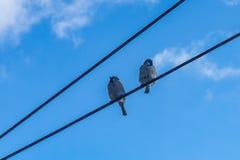 Pássaro do pardal que senta-se em fios elétricos pouco pardal em um fio, contra o céu azul foto de stock