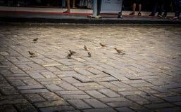 Pássaro do passarinho de Estrildid no pavimento Bogor recolhido foto Indonésia Foto de Stock Royalty Free