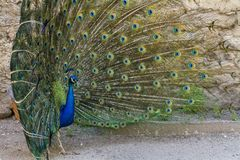 Pássaro do pavão que mostra fora suas penas bonitas Foto de Stock Royalty Free