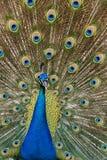 Pássaro do pavão que mostra fora suas penas bonitas Imagem de Stock Royalty Free