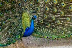 Pássaro do pavão que mostra fora suas penas bonitas Fotos de Stock Royalty Free