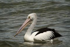 Pássaro do pelicano Foto de Stock Royalty Free