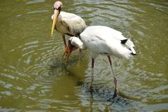 Pássaro do pelicano Fotografia de Stock Royalty Free