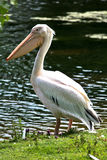 Pássaro do pelicano Foto de Stock
