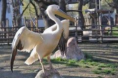 Pássaro do pelicano com bico longo Imagens de Stock