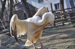 Pássaro do pelicano com bico longo Imagem de Stock