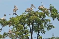 Pássaro do pelicano no jardim zoológico fotos de stock royalty free