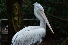 Pássaro do pelicano no jardim zoológico foto de stock
