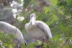 Pássaro do pelicano que olha a câmera Foto de Stock Royalty Free