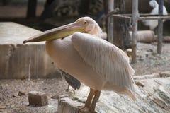 Pássaro do pelicano que olha a câmera Imagem de Stock Royalty Free