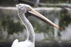 Pássaro do pelicano que olha a câmera Fotografia de Stock Royalty Free