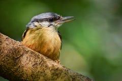 Pássaro do pica-pau-cinzento imagem de stock