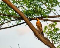 Pássaro do pica-pau da cintilação de Campo - campestris do Colaptes - no ramo de árvore fotografia de stock