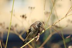 Pássaro do pintassilgo que senta-se na grama Fotos de Stock Royalty Free