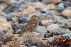 Pássaro do Pipit da rocha em uma praia rochoso Foto de Stock Royalty Free