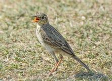 Pássaro do pipit de Paddyfield Fotografia de Stock