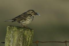 Pássaro do Pipit de prado com o bico completo dos insetos Fotografia de Stock